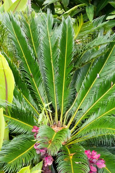 Costa Rica Cycas Revoluta palm