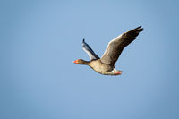 Greylag goose flying with open wings against blue sky illuminated by sun