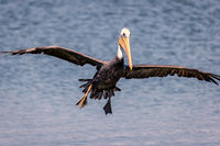 Pelican Flying Toward the Camera