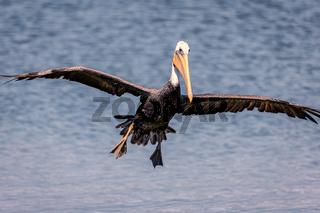 Pelican Flying Toward the Camera