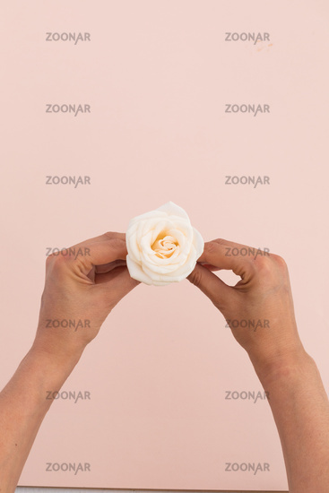 High angle view of person holding white rose on pink background