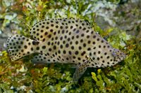 Panther fish   (Cromileptes altivelis)