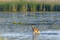Red Deer hind runs through a pond / Cervus elaphus