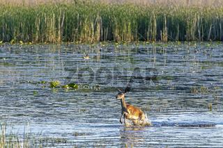 Rottier rennt durch einen Teich