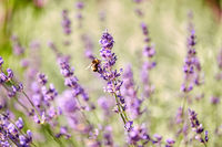 bee pollinating lavender flowers in summer garden