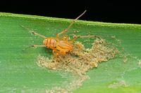 Spitting spider, Scytodes thoracica, Pune, Maharashtra, India