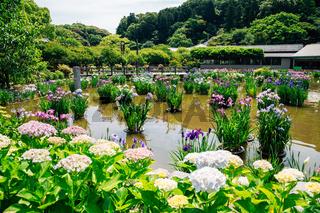 Hydrangea flowers garden at Dazaifu Tenmangu shrine in Fukuoka, Japan