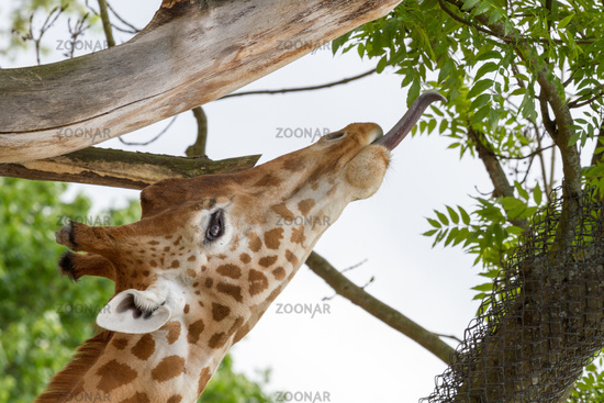 Giraffe with tongue to the leafs