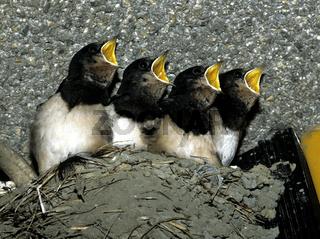 Jungschwalben; Schwalben; Fuettern;