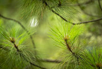 Pine Forest Detail