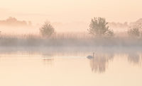 swan on lake during misty sunrise