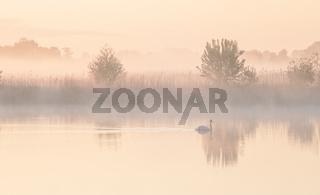 swan on lake during misty sunrise