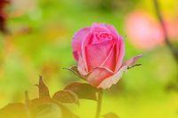 Light pink rose blooms in spring. Fragrant smell.