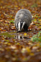 Thirsty european badger drinking from splash in autumn