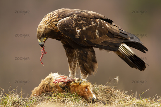 Golden eagle standing on a dead fox and feeding with its flash in autumn nature