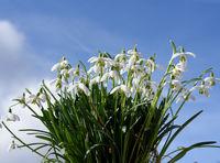 Schneegloeckchen, Galanthus nivalis