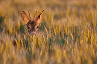 Roe deer -Lake Neusiedl, Austria-