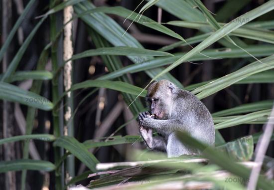 Long-tailed macaque (Macaca fascicularis), Sabah, Borneo, Malaysia