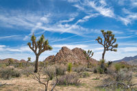 Joshua Tree National Park in California with Joshua tree plants against blue sky
