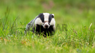 Sneaky european badger peeking out from horizon on a summer meadow