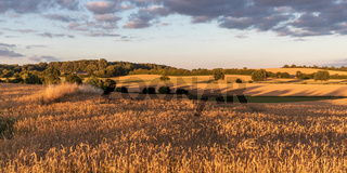 Weizenfeld im Abendlicht