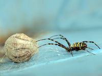 A wasp spider with cocon