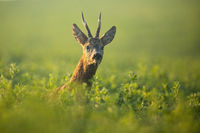Male roe deer peeking out of green clover at sunrise in summer