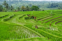 Panorama view on rice terraces Jatiluwih