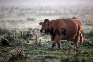 Milchkuh auf der Weide im Morgentau