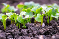 Side view of green radish seedlings sprouting