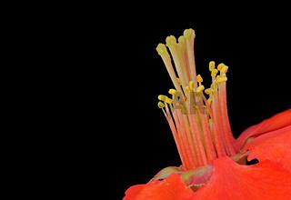 Blüte einer Japanischen Zierquitte (Chaenomeles japonica)
