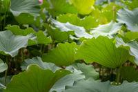 Big green leaves of a lotus flower