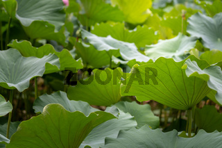Big green leaves of a lotus flower