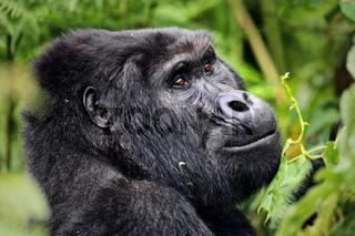 Berggorilla im Bwindi Impenetrable Nationalpark Uganda (Gorilla beringei beringei) | Mountain Gorilla at Bwindi Impenetrable National Park Uganda (Gorilla beringei beringei)