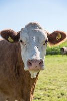 Dairy cattle on pasture - spotted cattle-portrait