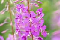 woodland willowherb, Epilobium angustifolium