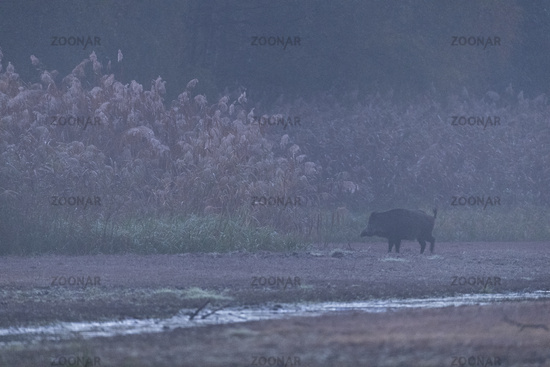 Wild Boar subadult in a reed belt