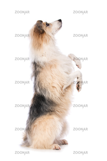 Cute dog sitting on hind legs and beg