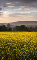 Drizzle rain above sunset spring yellow flowering rapeseed fields