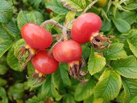 Apfelrose, Rosa rugosa