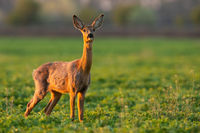 Roe deer doe looking on green glade in spring sunlight