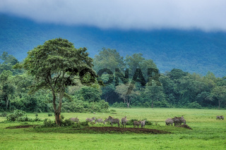 Zebra herd beneath tree near to the rainforest