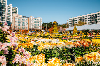 Tongdosa temple autumn chrysanthemum flower festival in Yangsan, Korea