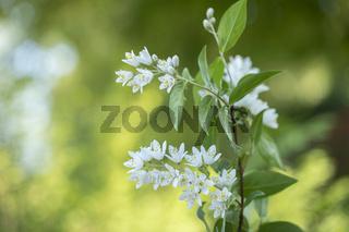 Blühende Deutzien (Deutzia) im Garten, Nahaufnahme