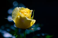 Rose and warm light in garden background , beautiful moments of love and happy life.