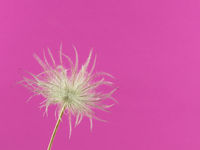 Close-up of the faded flower head of one pasqueflower isolated on pink