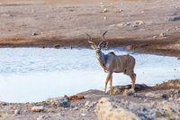 greater kudu Africa safari wildlife and wilderness
