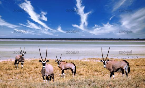 Spitbuck, Oryx, Etosha National Park, Namibia   Oryx, Etosha National Park, Namibia