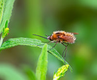 Macro of a black tailed bee fly