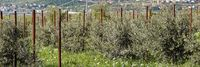 olive plantation with young trees